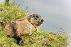 Marmotte alpestre Image libre de droits