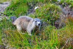 Marmotte alpestre (marmota de Marmota) Images libres de droits