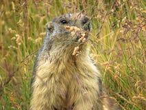Marmotte alpestre (marmota de Marmota) Photographie stock