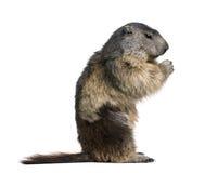 Marmotte alpestre se reposant sur le fond blanc Image stock