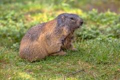 Marmotte alpine dans le domaine Photographie stock libre de droits