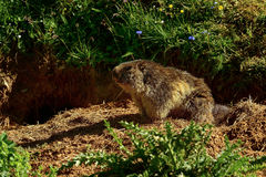 Marmotte alpine, grossglockner Images libres de droits
