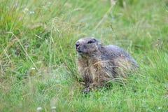 Marmotte alpine (marmota de Marmota) dans les Alpes français Image libre de droits