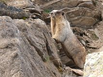 Marmotte blanchie Images libres de droits