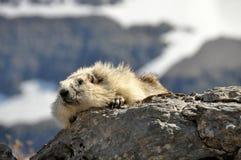 Marmotte blanchie Photographie stock libre de droits