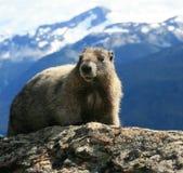 Marmotte blanchie dans l'alpestre Images libres de droits