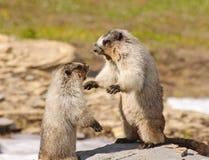 Marmotte che combattono per il territorio Immagine Stock