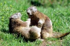 Marmotte che giocano lotta Fotografia Stock