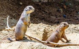 Marmotte che guardano fuori fotografia stock libera da diritti