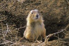 Marmotte, città della marmotta, monumento dello stato, Greycliff, la TA Immagini Stock