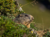 Marmotte curieuse regardant sur les Alpes - 5 Photo libre de droits