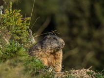 Marmotte curieuse regardant sur les Alpes - 6 Photo stock