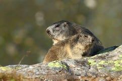 Marmotte d'adulte et d'enfant Images stock