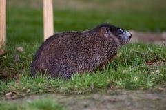 Marmotte d'Amérique Photos libres de droits