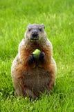Marmotte d'Amérique Images stock