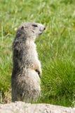 Marmotte dans les alpes Photographie stock