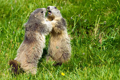 Marmotte dans les alpes Photo stock