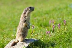 Marmotte dans les alpes Photographie stock libre de droits