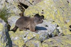 Marmotte de bébé Images libres de droits