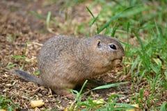 Marmotte de Pouched Photos libres de droits