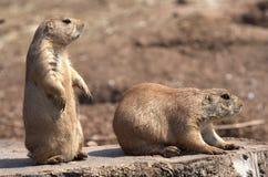 Marmotte de prairie suivie par noir Image libre de droits