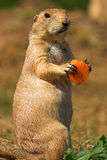 Marmotte de prairie suivie par noir Photo stock