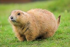 Marmotte de prairie suivie par noir Image stock