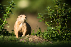 Marmotte de prairie suivie par noir Photo libre de droits