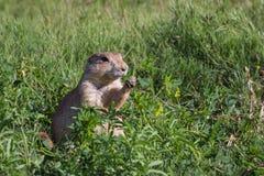 Marmotte de prairie suivie par noir Images libres de droits