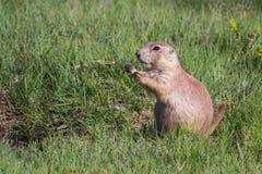 Marmotte de prairie suivie par noir Photos libres de droits