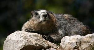 Marmotte de repos Photos libres de droits