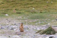 Marmotte debout Image libre de droits