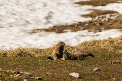 Marmotte di combattimento Immagine Stock Libera da Diritti