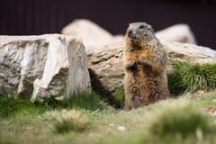 Marmotte drôle Photos libres de droits