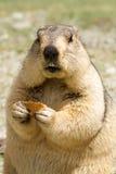 Marmotte drôle avec le bisquit sur le pré Photo libre de droits