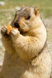 Marmotte drôle avec le bisquit sur le pré Image libre de droits