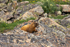 Marmotte du Colorado Photo stock
