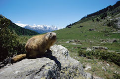 Marmotte en montagnes des alpes de la France Photos stock