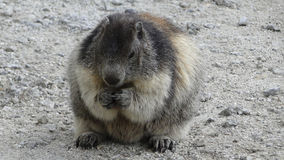 Marmotte Royalty Free Stock Photos