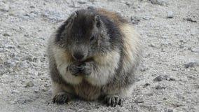 Marmotte Royalty Free Stock Photos