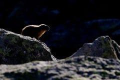 Marmotte fortement contre éclairée parmi des rochers Images libres de droits