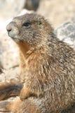 Marmotte fraîche Images stock