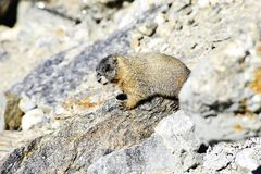 Marmotte gonflée par jaune Photos stock