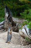 Marmotte gonflée par jaune Photo libre de droits