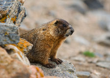 Marmotte gonflée par jaune Photographie stock libre de droits