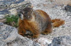 Marmotte gonflée par jaune Images stock