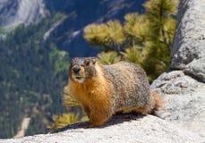 Marmotte gonflée par jaune Photo stock