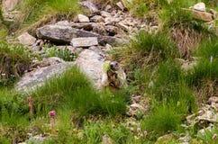 Marmotte mignonne Images stock