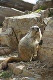 Marmotte mignonne Photos libres de droits