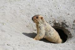 Marmotte mignonne jetant un coup d'oeil hors d'un terrier Images stock